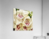 White Foxgloves with Raindrops  Acrylic Print