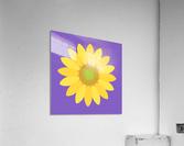 Sunflower (12)_1559876665.8775  Acrylic Print
