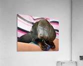 dachshund puppy young animal  Acrylic Print