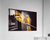 ara parrot yellow macaw bird  Acrylic Print