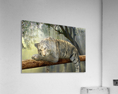 tiger animal jungle rainforest  Acrylic Print