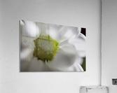 Purete  Acrylic Print