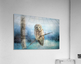 Barred Owl Solitude  Acrylic Print