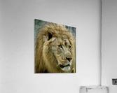 Extreme close up Lion  Acrylic Print