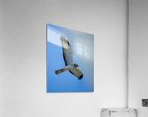 Northern Harrier in Flight  Impression acrylique
