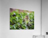 Duck In Plants  Acrylic Print
