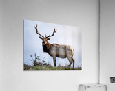 Tule Elk  Acrylic Print