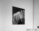 Zebra Portrait  Acrylic Print