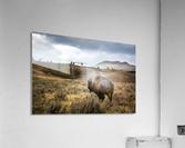 Stormy Bison  Acrylic Print