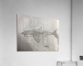 Shark Image  Acrylic Print