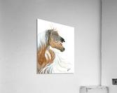 Majestic Pinto Horse  Acrylic Print