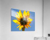 Glowing Heliopsis  Acrylic Print