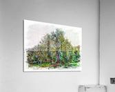 Cascading Olive Tree  Acrylic Print