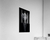 Rcoco tulip, side view  Acrylic Print