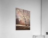 Autumn tree in sunlight  Acrylic Print