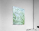 Wild grass Foxtail Barley  Acrylic Print
