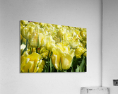 Tulips of the Netherlands 1 of 7  Acrylic Print