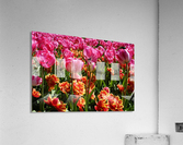 Pink & Orange  Acrylic Print