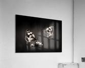 Medioluto norteA±a  Acrylic Print