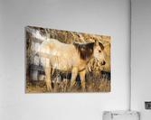 Wild Horse ap 2740  Acrylic Print