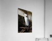 Great White Egret ap 2765  Acrylic Print