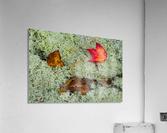Leaves  N  Lichen ap 1553  Acrylic Print