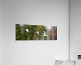 Swan Song ap 2696  Acrylic Print