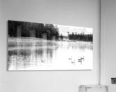 Swan Family ap 2694 B&W  Acrylic Print