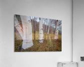 White Birch ap 2242  Acrylic Print