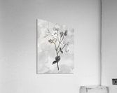 Sweet Pea Simple Gray Botanical Flower On Watercolor Marble   Acrylic Print