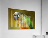 Parakeet  Acrylic Print