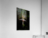Gently Hanging  Acrylic Print