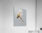 Blue-Naped Mouse Bird  Acrylic Print