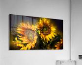 Little Suns  Acrylic Print
