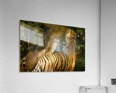Indian Tiger  Acrylic Print