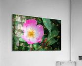 The Bloom  Acrylic Print