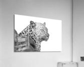 Leopard - B&W  Acrylic Print