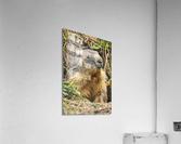 Alpine Marmot  Acrylic Print