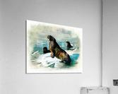 Walrus Illustration  Acrylic Print