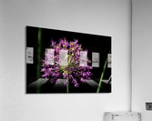 Purple Allium  Acrylic Print