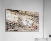 Lonely Sandpiper  Acrylic Print