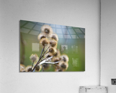 Burdock Bouquet  Acrylic Print
