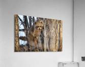 Racoon peeking through twigs  Acrylic Print