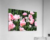 Double Pink Tulips  Acrylic Print