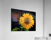 Solitary Sunflower  Acrylic Print