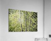 Simulated Saplings  Acrylic Print