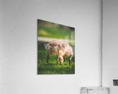 Gooses   Acrylic Print