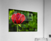 Pavot solo  Impression acrylique