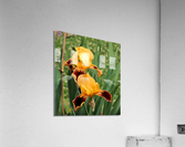 Yellow Brown Iris  Acrylic Print