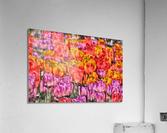 Tulips at Roozengaarde  Acrylic Print